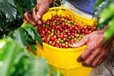 What makes Colombian coffee the best in the world? There are many contributing factors to the excellence and the popularity of Colombian Coffee. Cafe de Colombia is coffee made from the arabica bean Coffee Farm, Coffee Corner, Coffee Is Life, Coffee Lovers, Coffee Process, Cherry Farm, Colombian Coffee, Colombian Food, Coffee Dessert