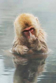 Japanese Macaque showing middle finger by Jari Peltom?ki & young Japanese Macaque (Snow monkey) was showing his middle finger to me when I was photographing him bathing. Animals And Pets, Baby Animals, Funny Animals, Cute Animals, Beautiful Creatures, Animals Beautiful, Animal Pictures, Funny Pictures, Funny Animal Pictures