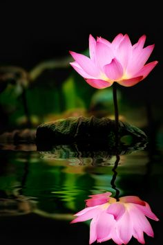 The lotus is a symbol of purity, and it blooms profusely in Buddhist art and literature. Its roots are in muddy water, but the lotus flower rises above the mud to bloom clean and fragrant. posted by Sifu Derek Frearson Water Flowers, Flowers Nature, Exotic Flowers, Beautiful Flowers, Lotus Flowers, Image Pastel, Calla, Pink Lotus, White Lotus