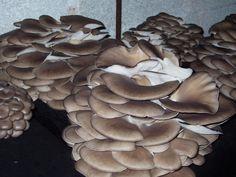 cultivo hongo seta de ostra (orellana), variedad de invierno, sombrero plano