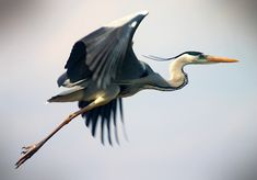 Photo about Great Blue Heron making a funny face. Image of avian, heron, funny - 52631644 Sea Birds, Wild Birds, Love Birds, Beautiful Birds, Animals Beautiful, Heron Tattoo, Bird Canvas, Canvas Art, Canvas Prints