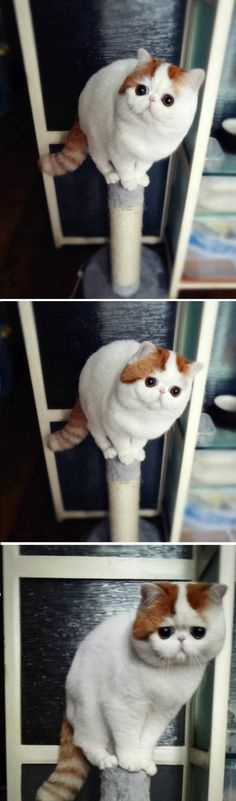Snoopy the cat - i'm balancing quick! take the photo before i look down...too late...how do i get off this thing?