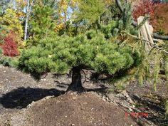 Pinus mugo Elfin Green:  A miniature evergreen conifer with a flat-bun shape. Needles are short and dark green. Very cute in a small garden.
