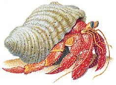 Most adult hermit crabs are from 1/2 inch (13 mm) to 4 3/4 inches (121 mm) ...