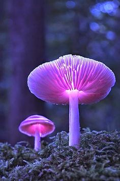 Glowing lavender mushrooms