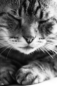 cat face - marc lagneau | black and white photo