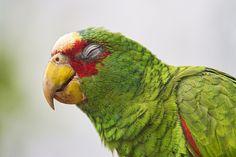 White-fronted Amazon (Amazona albifrons) with closed eyes