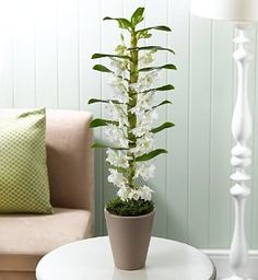 Beautiful Dendrobium orchid - lovely gift idea my favorite