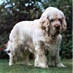 Clumber Spaniel Clumber Spaniel Breed Standard Sporting Group General Appearance The Clumber Spaniel is a long, low, substantial dog. Clumber Spaniel Puppy, Spaniel Puppies, Cocker Spaniel, Dogs And Puppies, Doggies, Spaniel Breeds, Dog Breeds, Animals And Pets, Cute Animals