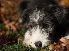 bearded collie pup <3