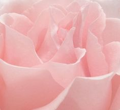 """Soft Pink Rose Pedals"""" 
