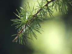 Health benefits of evergreen trees and shrubs. These widely abundant plants are often overlooked as a potential source of medicine. Evergreen Trees, Trees And Shrubs, Nature Verte, Larch Tree, Love, Health Benefits, Funny, The Cure, Survival