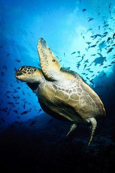 Isla del Coco - Flying turtle by Bigeye Bubblefish [  Addict  ] on Flickr