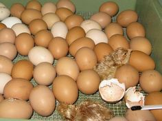 10 important factors to consider when hatching chicken eggs in an incubator!