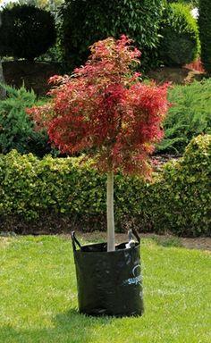 Acer palmatum Beni komachi - a semi-dwarf maple with delicate foliage