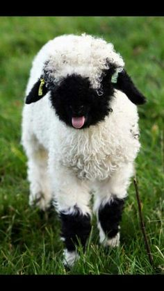 The cutest lamb ever