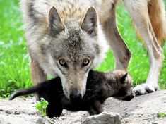 A Wolf Looks After Her Cub    There had been no wolves in Germany for over 150 years.    Hunted to extinction they appeared only on the pages of fairy tale books, but in 2000 a pair was spotted in the eastern state of Saxony having migrated from neighbouring Poland.    The population grew and spread westward and old fears resurfaced, but unnecessarily it now seems.    German Wolves Prefer Wildlife to Livestock  http://www.spiegel.de/international/germany/0,1518,821013,00.html