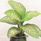 Dieffenbachia seguine