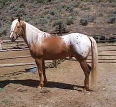 Goldensun- A lithe, palomino Appaloosa stallion