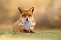 Dutch photographer Roeselien Raimond has developed an uncanny talent for bringing out the whimsical personalities of her country's local foxes.