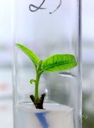 Kitchen culture | Tissue culture micropropagation | Pinterest ...