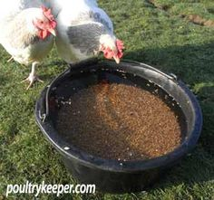 Raising Ducks with Chickens; a few tricks for co-habiting. Put the duck's wheat in a little dish of water so the chickens can't eat it.