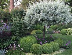 Clay Soil - Silver pear tree - Caroline Benedict Smith Garden Design Cheshire