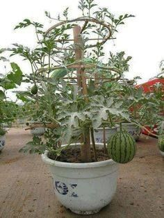 wow an interesting way to grow watermelon - could us bike wheels on the trellis
