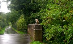 pagewoman:Barn Owl, Hodsock Priory, Nottinghamshire, England