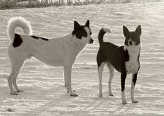 57 Best Canaan Dog Images Canaan Dog Dogs Dog Breeds