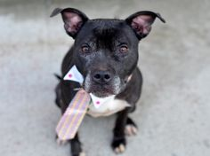 TO BE DESTROYED - 01/24/15 Brooklyn Center-P  My name is KERRAN. My Animal ID # is A0763532. I am a spayed female black and white staffordshire. The shelter thinks I am about 7 YEARS old.  I came in the shelter as a OWNER SUR on 01/03/2015 from NY 11434, owner surrender reason stated was MOVE2PRIVA. I came in with Group/Litter #K15-000127.