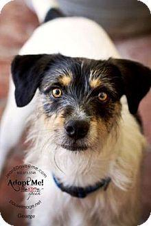 Gilbert, AZ - Jack Russell Terrier Mix. Meet George a Dog for Adoption.