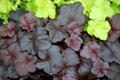 Image result for heuchera obsidian