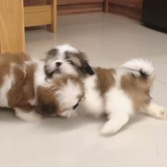 Brown and white shih tzu puppies playing. Cute Shih Tzu Puppies Source by CatherineJvV The post Cute Shih Tzu Puppies appeared first on Dolan Dogs. Shih Tzu Hund, Perro Shih Tzu, Shih Tzu Poodle, Baby Shih Tzu, Shih Tzu Puppy, Shih Tzus, Shih Tzu Breeders, Teacup Shih Tzu, Maltese Shih Tzu