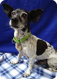 Dory - URGENT - Seal Beach Animal Care Center in Seal Beach, CA - ADOPT OR FOSTER - Adult Spayed Female Terrier Mix