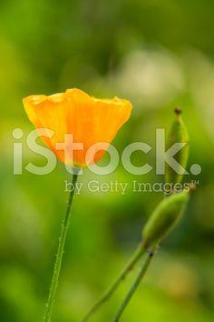 single orange flower royalty-free stock photo