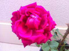 """El renacer de mis Rosas… como la Vida misma!    Y es que la vida va y viene!!! Y quizás no te das cuenta por el marco temporal (muy largo) y porque uno es el protagonista…    Observando a las Rosas, observas la Vida!  Unas veces estarás mejor (con flores) y otras peor! Pero en cualquier caso… vivo y en camino!    Y las rosas no dejan de """"trabajar y luchar"""" para florecer de nuevo…, una y otra vez!!!  Paso a paso, la Vida es así! Momentos malos, momentos buenos… Sabiendo que siempre llegará la"""