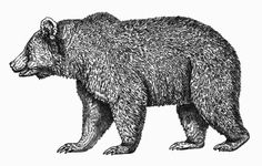 drawings of grizzly bears