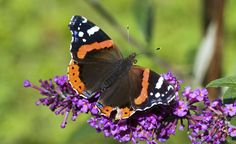 Gedeckter Tisch für Schmetterlinge -  Locken Sie bunte Falter in Ihren Garten. Das sicherste Mittel dazu: Blütenkelche, gefüllt mit süßem Nektar. Doch Achtung: Nicht alle Gartenpflanzen kommen als Trachtquelle für Insekten in Frage.
