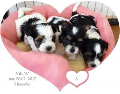 York Terrier, Dogs, Life, Animals, Animales, Animaux, Pet Dogs, Doggies, Animal