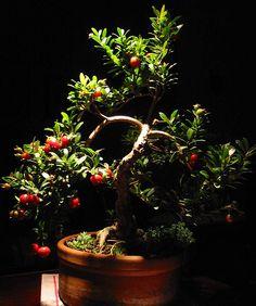 Photo du bonsai : Eugenia (Eugenia myrtifolia, Syzygium paniculatum)