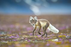 Foxy lady in a purple haze Photograph by Bjorn Anders Nymoen -- National Geographic Your Shot