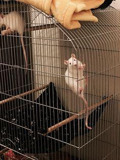 Hello!!! #aww #cute #rat #cuterats #ratsofpinterest #cuddle #fluffy #animals #pets #bestfriend #ittssofluffy #boopthesnoot