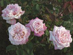 william r smith rose - Поиск в Google