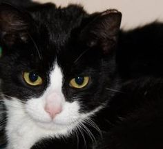 Tiana is an adoptable Tuxedo Cat in Berkeley Heights, NJ. Tiana is a sweetheart. Part of a TNR program but found to be way too nice. Along with her brother Ray and mom Lottie. This girl was a doll. A ...