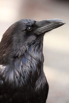 The raven is a big black bird, a member of the crow family. It is massive, bigger than a buzzard. It is all black with a large bill, and long wings. Raven And Wolf, Raven Bird, Quoth The Raven, Pet Raven, Raven Wings, All Birds, Love Birds, Beautiful Birds, Animals Beautiful