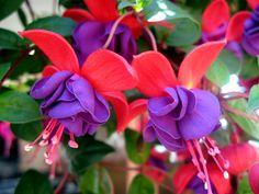 fuchsias gardens, gardening, flowers, plants, garden advice, january