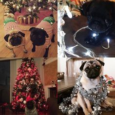 Last week saw so many adorable pugs showing off their favourite photos featuring some sparkle for the pug photo challenge. My top picks for #tpdsparkle are: TL: @nrobinson360  TR: @itsthetruetrufa  BL: @doggythapug  BR: @thepug_lola  Be sure to play along with this week's pug photo challenge theme of #tpd_red to be in the running for next week's top picks!
