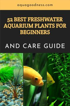 Looking for the best freshwater aquarium plant for beginners? Well, I got you covered in this blog post. In this blog post I'll show you the best live aquarium plant that even a beginner can easily keep in their aquarium. #aquarium #aquariumplants Freshwater Aquarium Plants, Live Aquarium Plants, Tropical Aquarium, Planted Aquarium, Live Plants, Floating Plants, Short Plants, Liquid Fertilizer, Hardy Plants