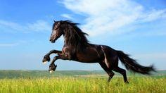 super schöne pferde bilder schwarzes pferd auf den wiesen
